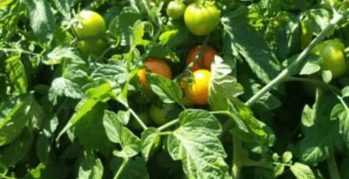 growing tomatoes in fabric pots